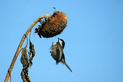 Photograph - Chickadee In Flight by Cameron Wood