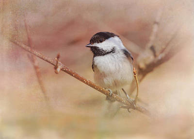 Chickadees Wall Art - Photograph - Chickadee In Spring by Susan Capuano