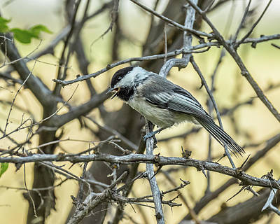 Photograph - Chickadee In Summer by Yeates Photography