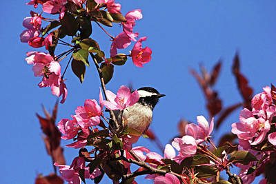 Photograph - Chickadee In The Blossoms by Debbie Oppermann