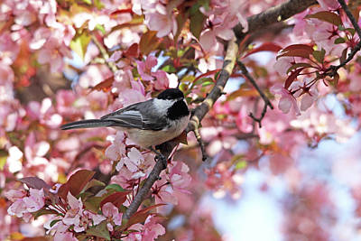Photograph - Chickadee In The Pink Blossoms by Debbie Oppermann