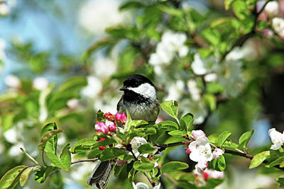 Photograph - Chickadee In The White Blossoms by Debbie Oppermann