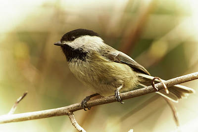 Photograph - Chickadee by Loni Collins
