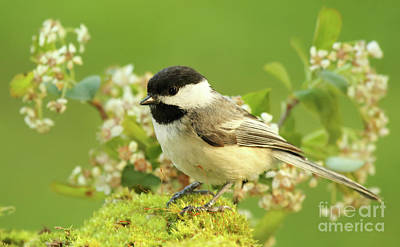 Photograph - Chickadee Mossy Spring Perch by Max Allen