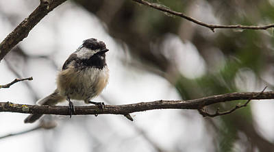 Photograph - Chickadee On A Branch by Josef Pittner