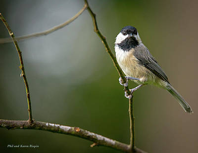 Photograph - Chickadee On A Branch by Phil  and Karen Rispin