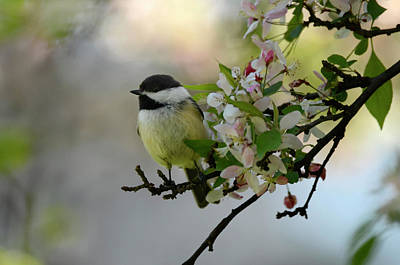 Photograph - Chickadee On  Blossoms by Ann Bridges