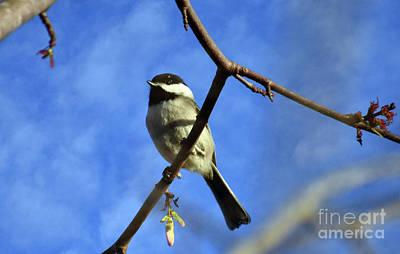 Photograph - Chickadee On Blue by Lydia Holly