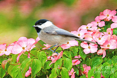 Chickadees Wall Art - Photograph - Chickadee On Dogwood by Laura D Young