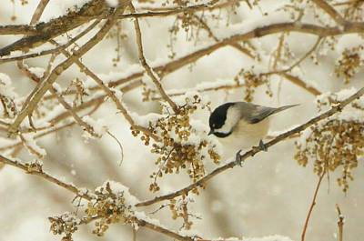 Photograph - Chickadee On Snowy Branch by Colleen Keller Breuning