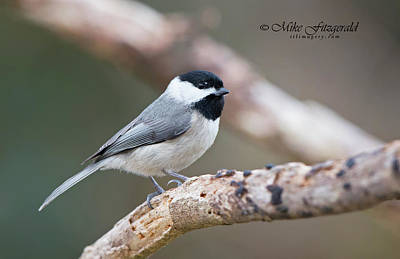 Photograph - Chickadee Profile by Mike Fitzgerald