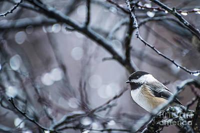 Photograph - Chickadee Rain by Joann Long