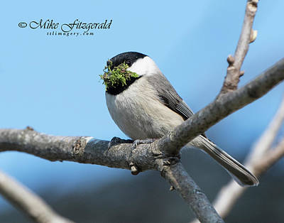 Photograph - Chickadee Salad by Mike Fitzgerald