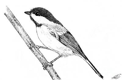 Flyers Art Drawing - Chickadee by Tanya Hamell
