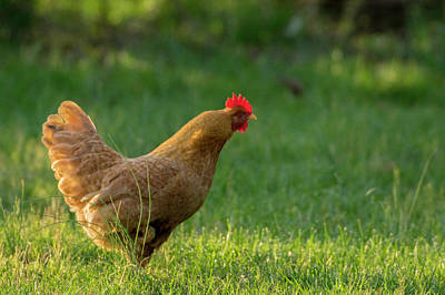 Photograph - Chicken 2 by Buddy Scott