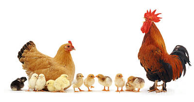 Photograph - Chicken Family by Warren Photographic