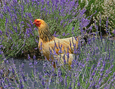 Photograph - Chicken In The Lavender by Suzanne Stout