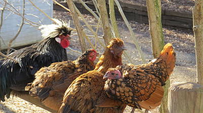 Photograph - Chicken Protest by Jeanette Oberholtzer