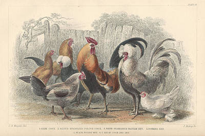 Rooster Drawing - Chickens by Anton Oreshkin