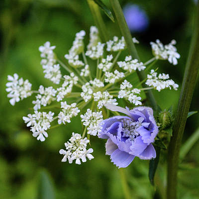 Photograph - Chicory And Queen Anne's Lace by Tana Reiff