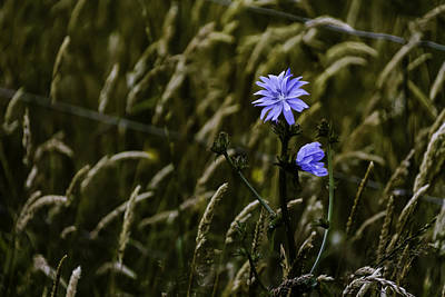 Photograph - Chicory - Cichorium Intybus by Chris Coffee