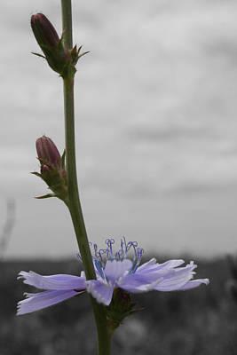 Photograph - Chicory Climb by Dylan Punke