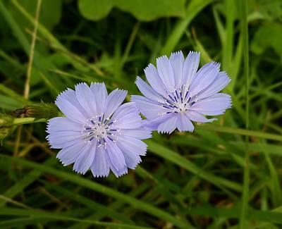 Photograph - Chicory by Joe Duket
