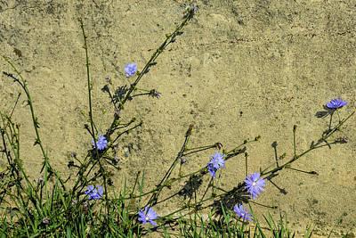 Photograph - Chicory On Bridge Wall by Tana Reiff