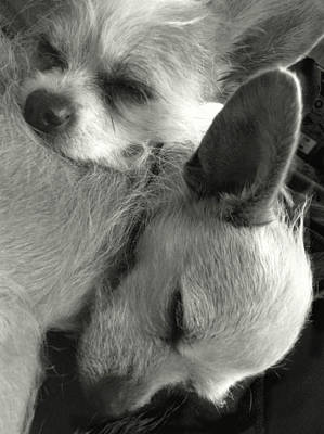 Photograph - Chihuahua Best Friends Bw by Patricia Sanders
