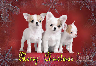 Photograph - Chihuahua Christmas Card by Waldek Dabrowski