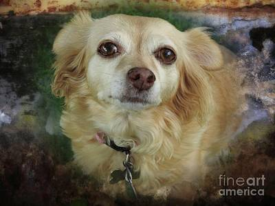 Photograph - Chihuahua Portrait by Ella Kaye Dickey
