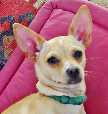 Photograph - Chihuahua Portrait by Marilyn Diaz