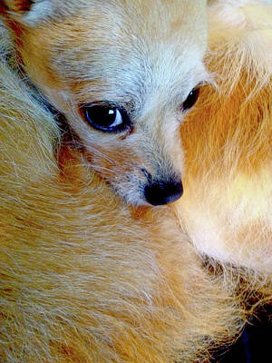 Photograph - Chihuahua Soulful Eyes by Patricia Sanders
