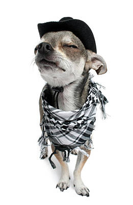 Chihuahua Wearing A Scarf And A Cowboy Hat Print by Life On White