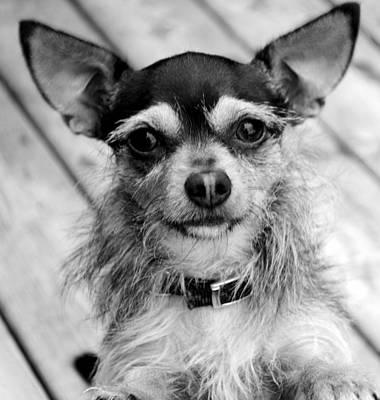 Chihuahua Photograph - Chihuahua Yorkie Chorkie by Laura Pineda