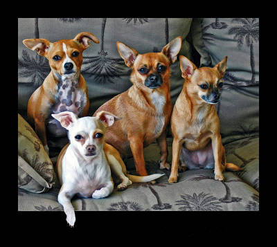 Photograph - Chihuahuas Hanging Out by Ginger Wakem