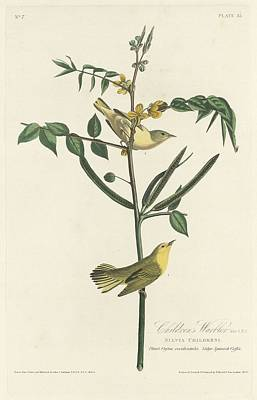 Wings Drawing - Children's Warbler by Dreyer Wildlife Print Collections