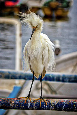 Photograph - Chilean Snowy Egret by John Haldane