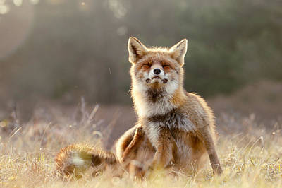 Lazy Photograph - Chill Fox by Roeselien Raimond