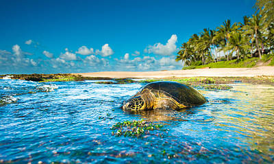 Laniakea Beach Photograph - Chilling Honu by Leonardo Dale