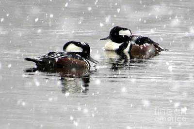 Photograph - Chilling Mergansers by Frank Townsley