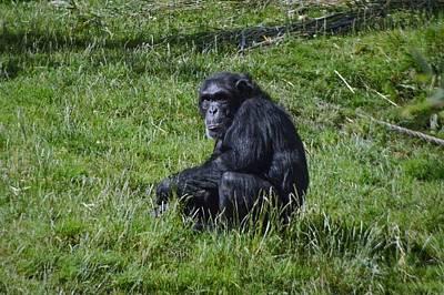 Chimp  Original