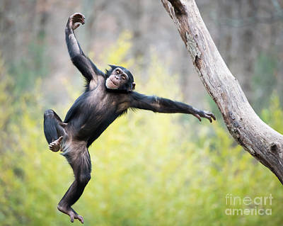 Southwick Photograph - Chimp In Flight by Abeselom Zerit