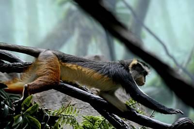 Photograph - Chimp by Paul SEQUENCE Ferguson             sequence dot net