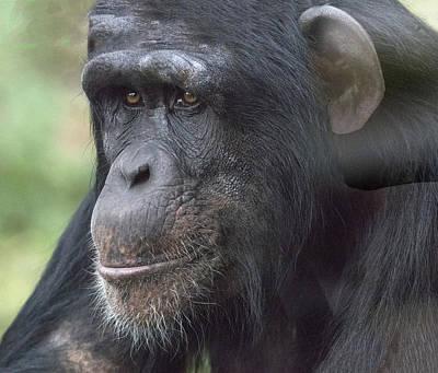 Photograph - Chimp Portrait by William Bitman