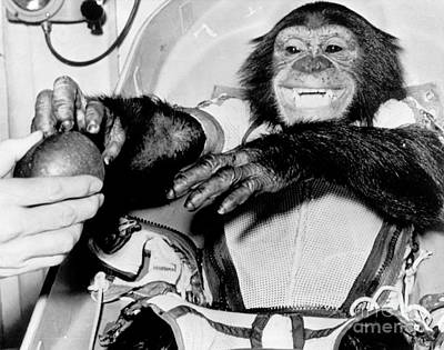 Photograph - chimpanzee Ham back on earth after his trip in a rocket by R Muirhead Art