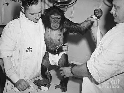 Photograph - Chimpanzee Ham With Bio Sensors Attached Readied By Handlers For His Trip In The Mecury Redstone 2 by R Muirhead Art