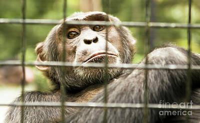 Photograph - Chimpanzee In Cave by Irina Afonskaya