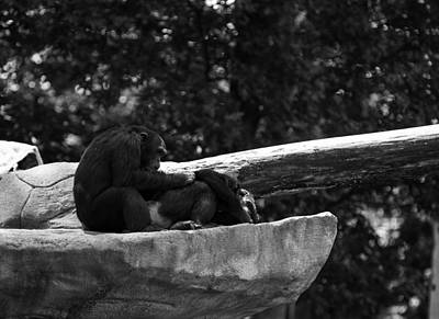 Photograph - Chimpanzee by Jason Moynihan