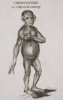 Chimpanzee Drawing - Chimpanzee Or Orang-outang. Engraved By by Vintage Design Pics